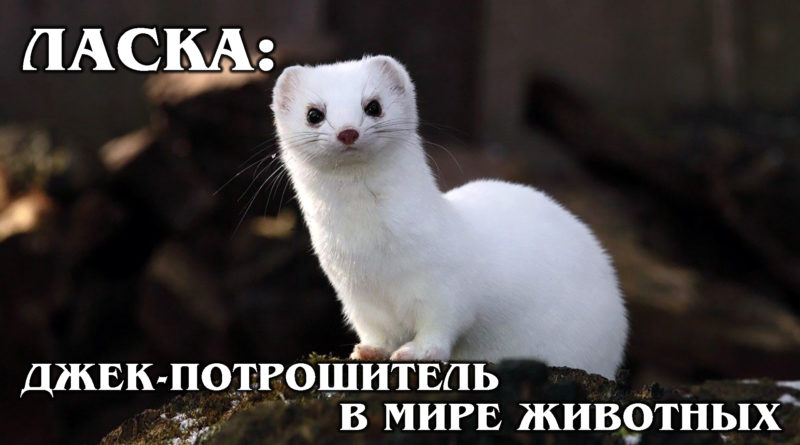 ЛАСКА: Пушистый комок ярости и самый маленький в мире хищник | Интересные факты про ласку и семейство куньих