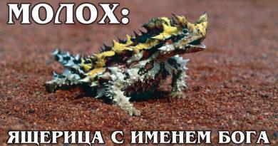 МОЛОХ: Ящерица, сделанная из острых лезвий впитывает воду   Интересные Факты про ящериц и рептилий