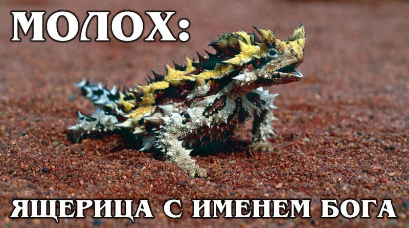МОЛОХ: Ящерица, сделанная из острых лезвий впитывает воду | Интересные Факты про ящериц и рептилий