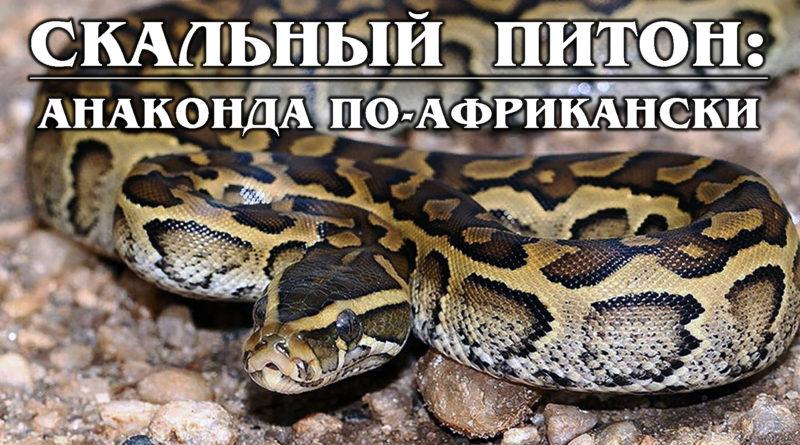 ИЕРОГЛИФОВЫЙ (СКАЛЬНЫЙ) ПИТОН: Одна из самых крупных змей в мире | Интересные факты про рептилий и животных