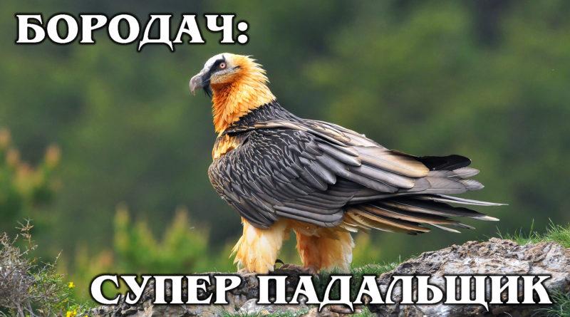 БОРОДАЧ (ЯГНЯТНИК): Главный пернатый санитар гор | Интересные факты про птиц и животных