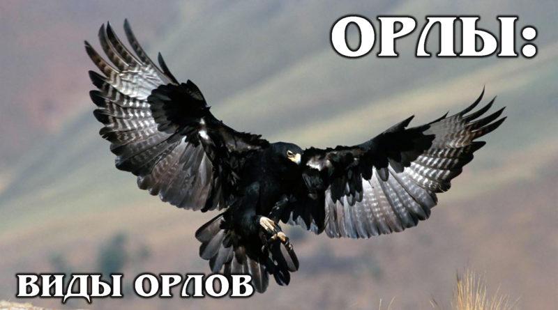 ОРЛЫ: Чем они отличаются от орланов? Виды орлов | Интересные факты про птиц и животных