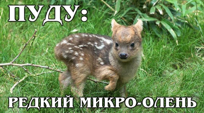 ПУДУ: Самый маленький и редкий в мире олень | Интересные факты про оленей и животных