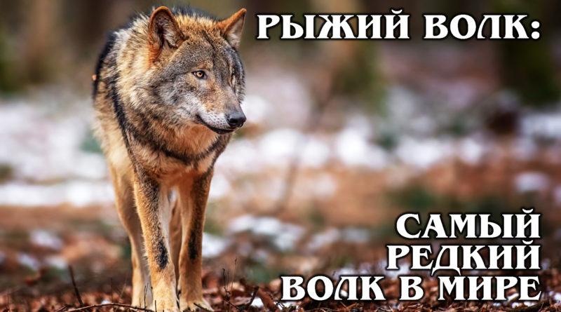 РЫЖИЙ ВОЛК: Гибрид койота и серого волка – самый редкий вид волка | Интересные факты про волков и животных