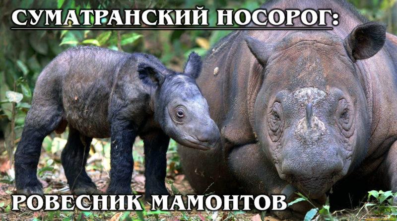 СУМАТРАНСКИЙ НОСОРОГ: Древний, мохнатый и раритетный вид носорогов | Интересные факты про носорогов и животных