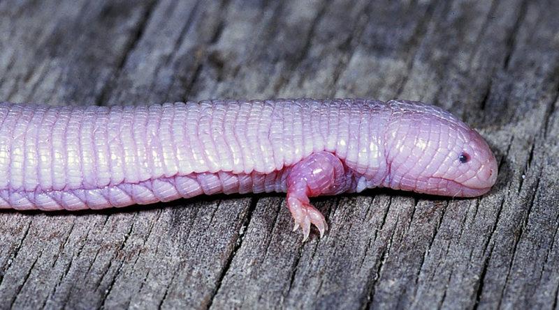 Хирот: Не ящерица, не змея, но рептилия