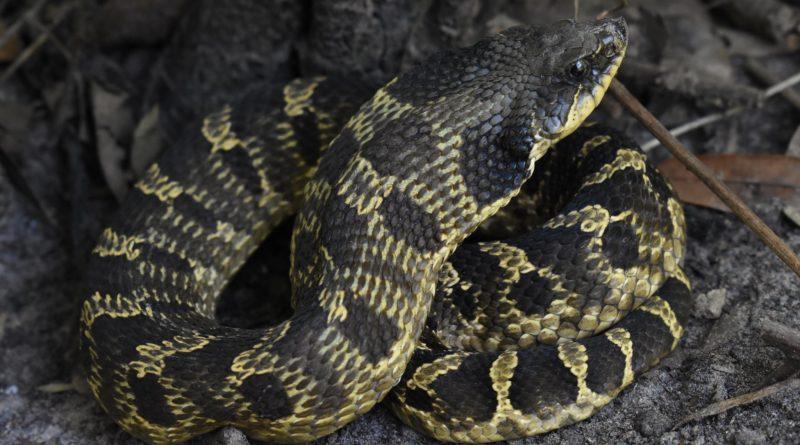 Широконосая восточная змея: Обожает лопать жаб