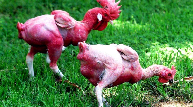 Израильская лысая курица: результат безумной селекции