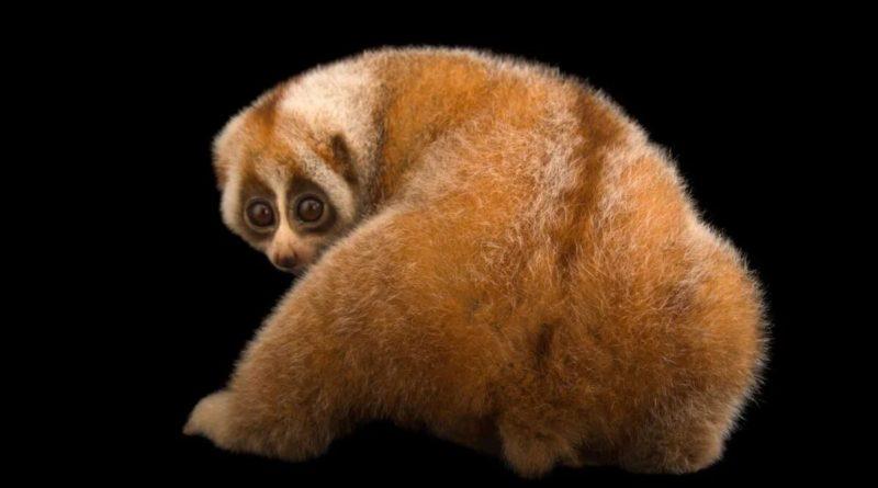 Толстый лори: Ядовитый примат