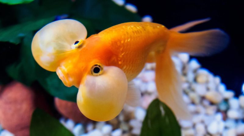 Пузыреглазка:Рыба со очень большими глазами