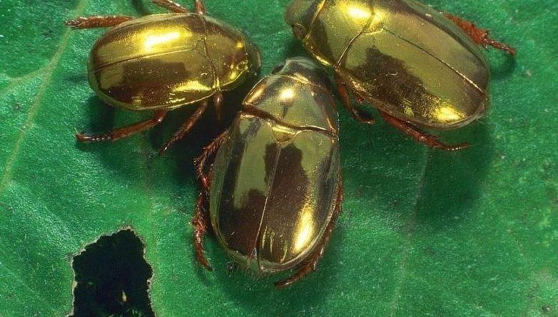 Зеркальные скарабеи: Жуки, которые ценятся дороже золота