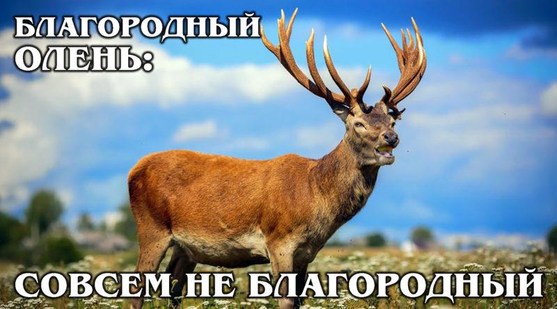 БЛАГОРОДНЫЙ ОЛЕНЬ: Панты самого красивого оленя стоят дороже золота | Интересные факты про оленей и животных
