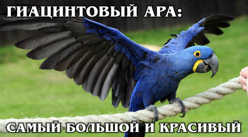 ГИАЦИНТОВЫЙ АРА: Большой, умный и красивый попугай из Бразилии | Интересные факты про птиц и животных