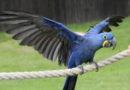 Гиацинтовый ара: Безупречный интеллект из мира пернатых