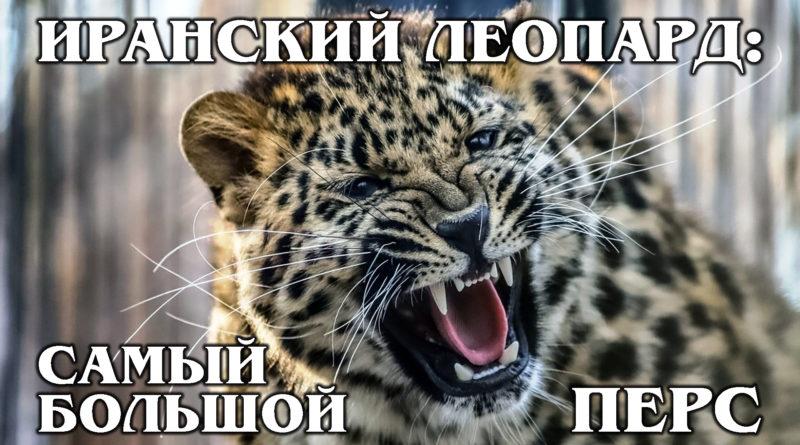 ПЕРСИДСКИЙ ЛЕОПАРД: Крупнейший подвид леопардов | Интересные факты про леопардов и животных