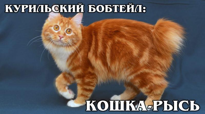 КУРИЛЬСКИЙ БОБТЕЙЛ: Древний гибрид сибирской кошки и японского бобтейла | Интересные факты про кошек и животных