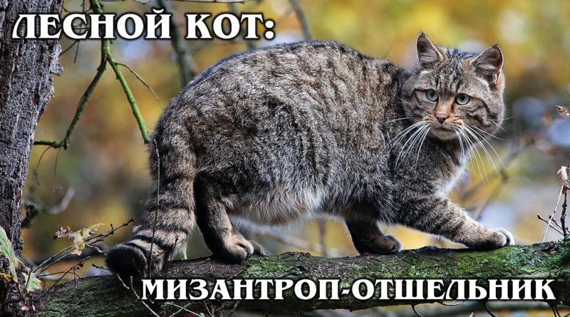 ЕВРОПЕЙСКИЙ ЛЕСНОЙ КОТ: Ближайший родственник горной китайской кошки | Интересные факты про кошек и животных