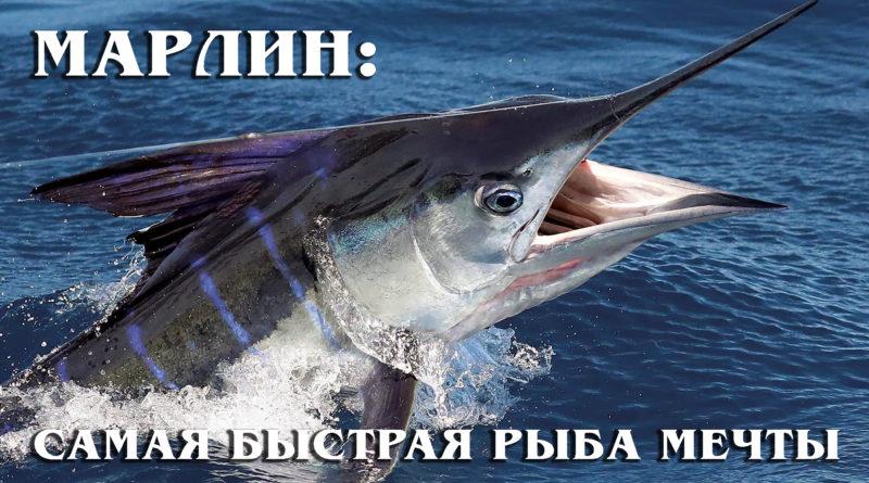 Марлин: Самая быстрая и большая рыба мечты Хемингуэя   Интересные факты про рыб и морских обитателей