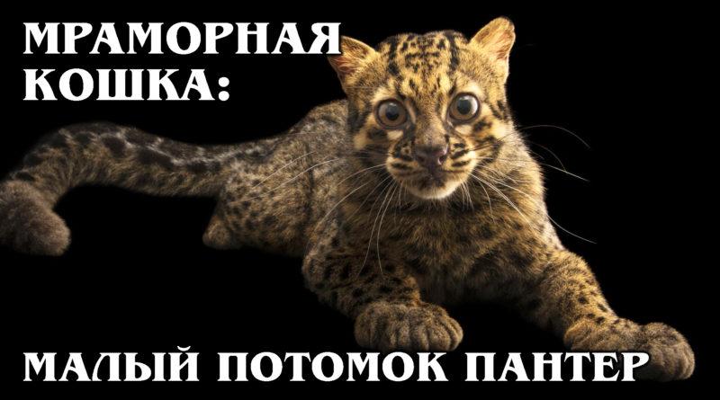 МРАМОРНАЯ КОШКА: Родственница дымчатого леопарда | Интересные факты про кошек и животных