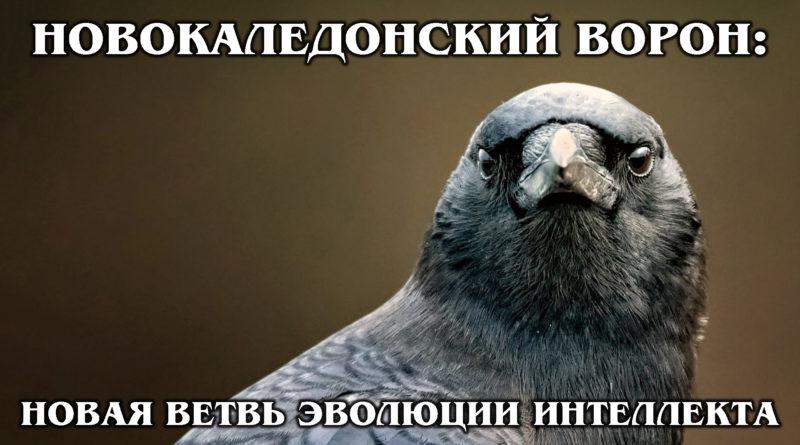 НОВОКАЛЕДОНСКИЕ ВОРОНЫ: Самые умные в мире птицы | Интересные факты про птиц и животных