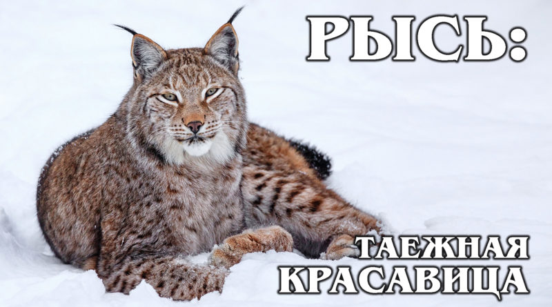 ЕВРАЗИЙСКАЯ (ОБЫКНОВЕННАЯ) РЫСЬ: Лучшая таежная охотница не любит лисиц и куниц | Интересные факты про кошек и животных