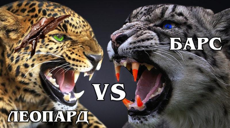 СНЕЖНЫЙ БАРС VS ЛЕОПАРД: Кто победит в схватке за территорию? Интересные факты про больших кошек и пантер