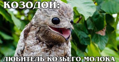 СОВИНЫЙ КОЗОДОЙ: Пернатый лягушкорот и любитель коз | Интересные факты про птиц и животных
