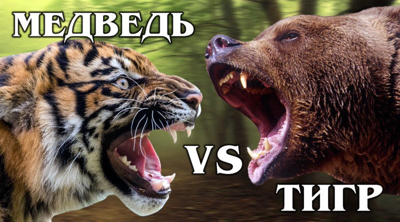 АМУРСКИЙ ТИГР VS БУРЫЙ МЕДВЕДЬ: Кто ЦАРЬ и ХОЗЯИН ТАЙГИ? Самые крупные и сильные наземные хищники планеты