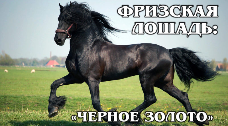 ФРИЗСКАЯ ЛОШАДЬ: Самая красивая упряжная порода лошадей | Интересные факты про лошадей и животных