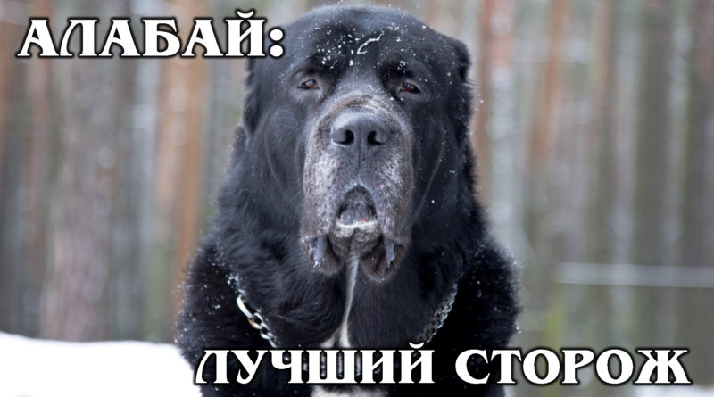 АЛАБАЙ: Туркменский волкодав – собака, которую создал ветер | Интересные Факты про собак и животных