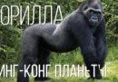 ГОРИЛЛА: Добрый Кинг-Конг и самая большая обезьяна | Интересные факты про обезьян и животных