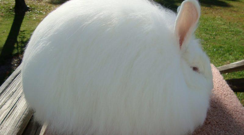 Ангорский кролик: кролик-облачко