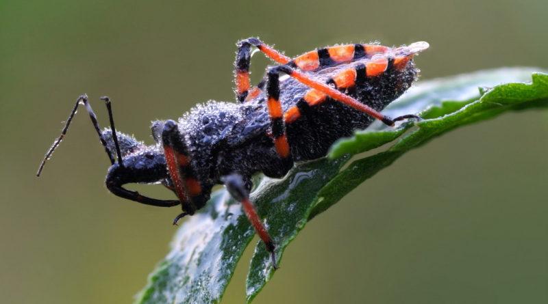 Клоп-хищнец: Коллекционер муравьиных душ