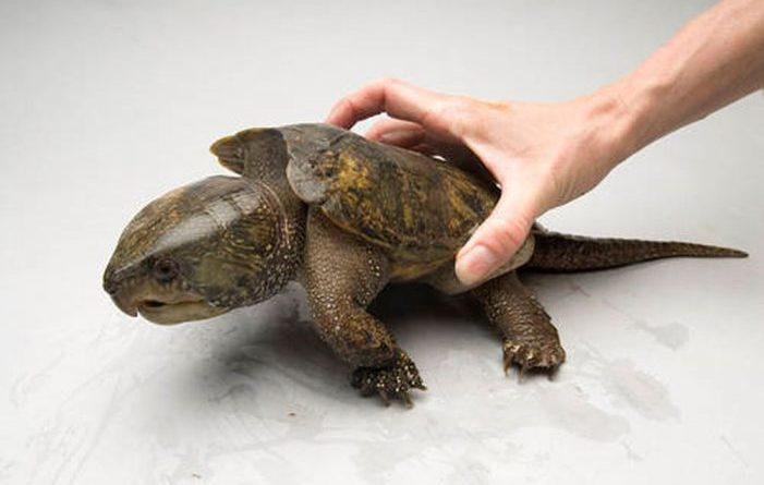 Большеголовая черепаха: Рептилия с большой головой лазает по деревьям