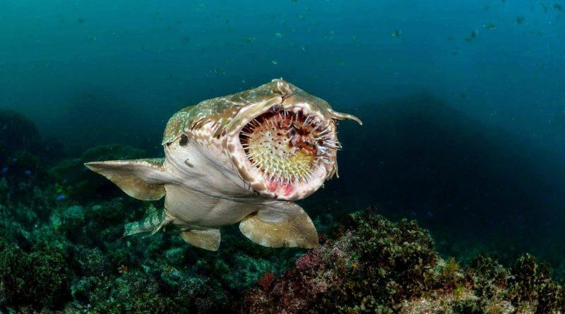 Ковровая акула: Способна ползать по суше!