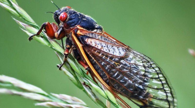 Цикады: Цифровое пение от насекомых