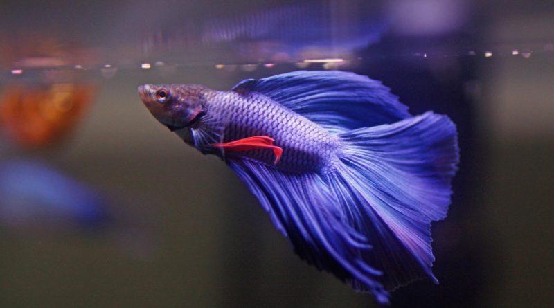 Рыба-Петушок: Питомец для аквариумных боев без правил
