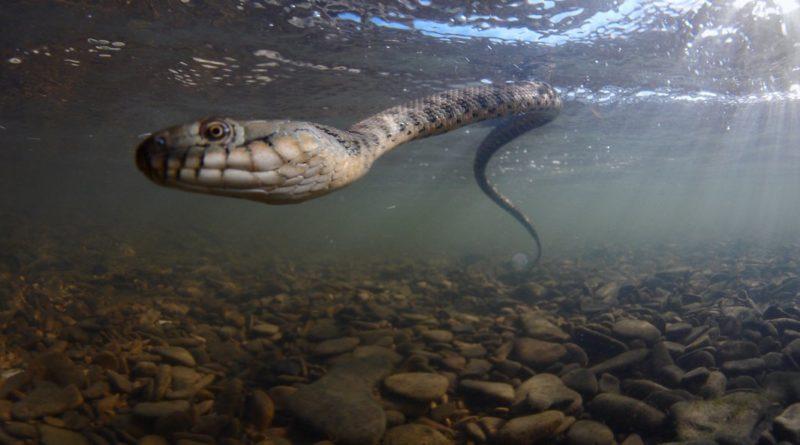 Водяной уж: Хорошая змея, а не гадюка