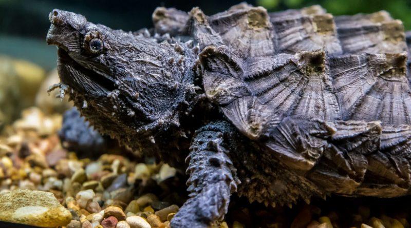 Грифовая черепаха: Агрессивная и мощная рептилия