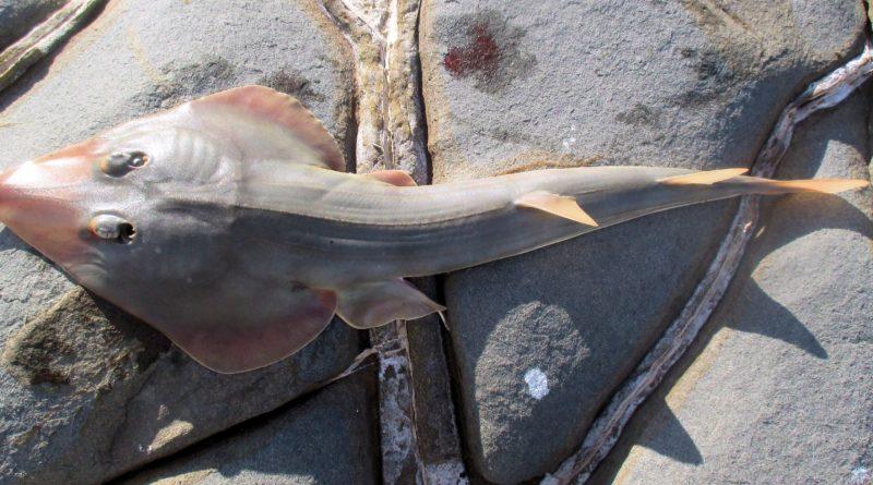 Рыба-халява: То ли скат, то ли акула