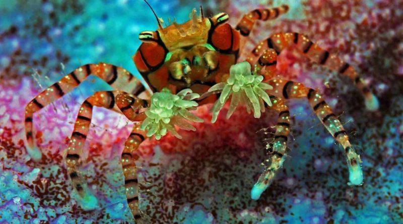 Краб-боксёр: Лучший пример симбиоза с актинией в мире животных