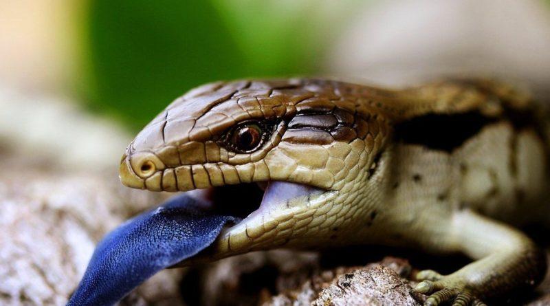Синеязыкий сцинк: Почти идеальный домашний рептилоид