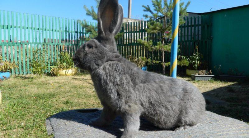 Фландр: Кролик размером с собаку