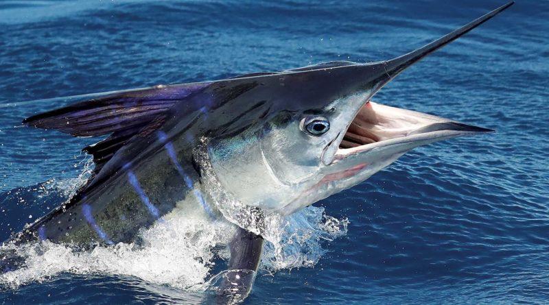 Чёрный марлин: Одна из самых быстрых рыб на планете