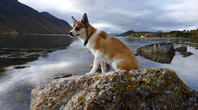 Лундехунды: Скандинавские чудо-собаки