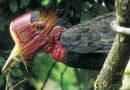 Шлемоклювый калао: Замуровывают своих птенцов!