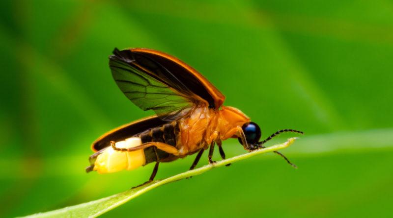 Светлячок-фотурис: Самое хитрое насекомое