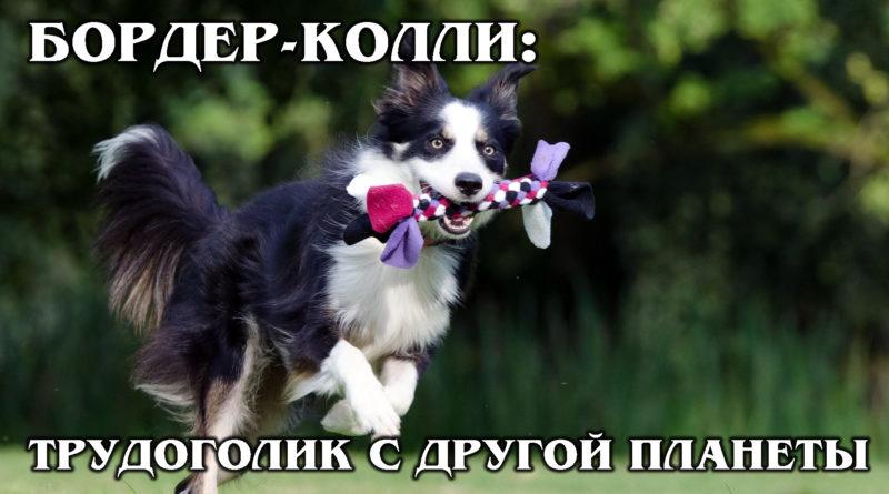 БОРДЕР-КОЛЛИ: Очень умный, неутомимый и всегда довольный пёс | Интересные факты про породы собак и животных