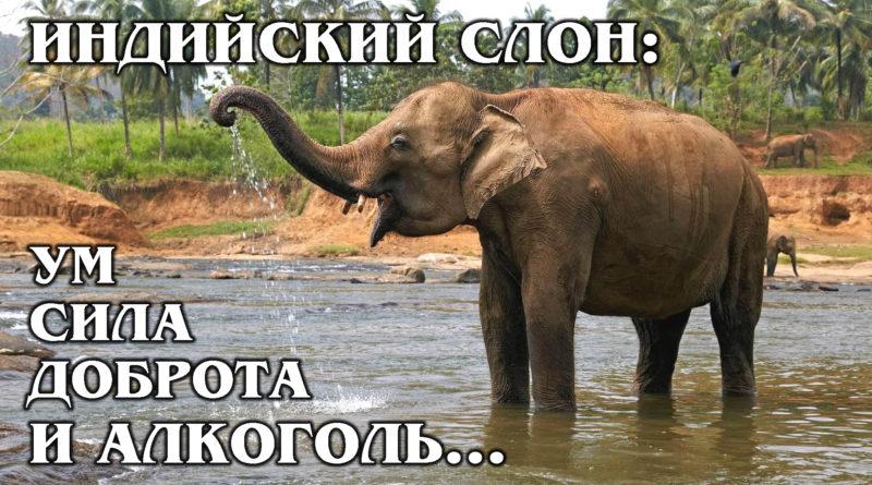 АЗИАТСКИЙ СЛОН: Самый добрый и умный гигант из мира хоботных | Интересные факты про слонов и животных