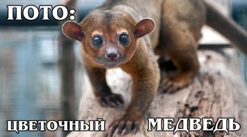 """КИНКАЖУ: Домашний """"цветочный медведь"""", обезьянка или енот? Интересные факты про кинкажу, енотов и животных"""